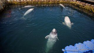 Szabadon engedi a bálnákat Oroszország
