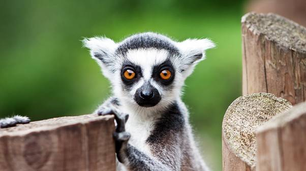 Why would you do yoga with lemurs?