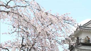 Cseresznyevirágzás Japánban