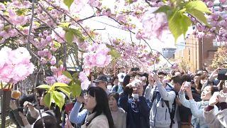 Nagy tömeg csodálta a japán pénzverde kertjének több száz cseresznyefáját