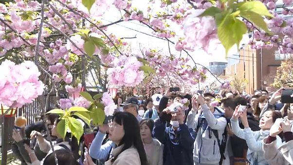 تفتح أزهار الكرز في اليابان