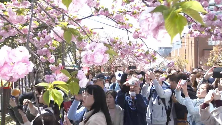 آغاز جشن شکوفههای گیلاس در باغ اوزاکای ژاپن
