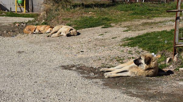 Ankara'da sokak köpeklerinin zehirlenmesine Mansur Yavaş'tan tepki