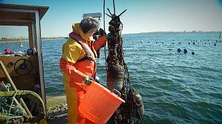 Πρόγραμμα «Baltic Blue Growth»: Τα εκτροφεία μυδιών είναι η λύση για τη μόλυνση της Βαλτικής