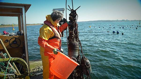 Mussel farms fight against pollution in the Baltic; one of the most polluted seas in the world
