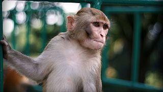 Çinli bilim insanları maymunlara insan beyninden gen aktardı, zeka ve hafıza arttı