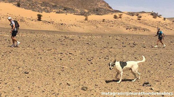 Hund Cactus läuft Marathon in der Sahara