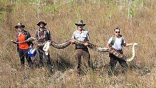 ABD'nin Florida eyaletinde 5.2 metre uzunluğunda dev piton bulundu