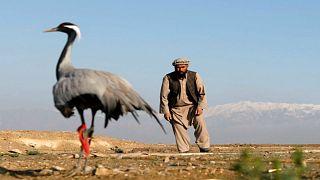 صياد أفغاني يحاول الامساك بطائر من فصيلة الكركي