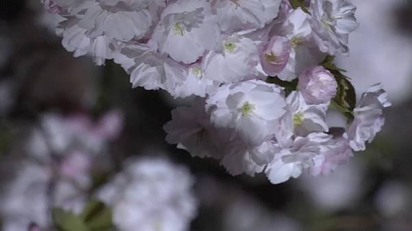 Un jardín nacional en Tokio atrae turistas por sus cerezos iluminados por la noche