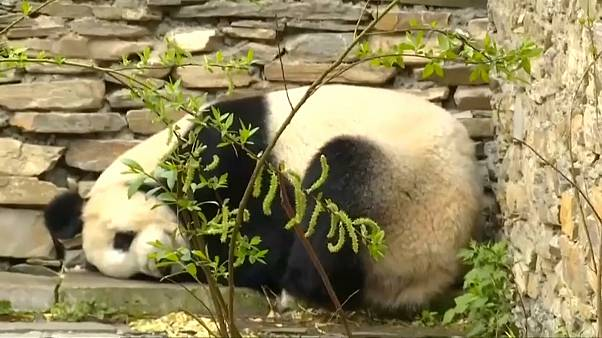 Panda für Wien