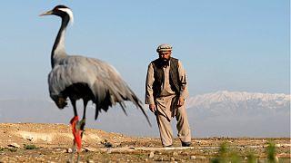 شکار کُلنگ در افغانستان