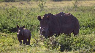 جنوب أفريقيا تضبط شحنة كبيرة من قرون وحيد القرن كانت متجهة إلى خارج البلاد