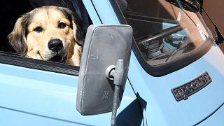 كلب داخل سيارة