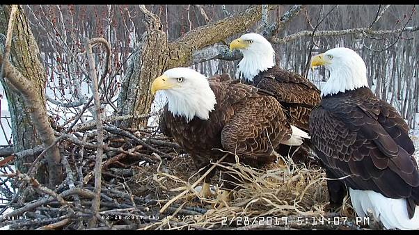 The trio of eagles are seen at their nest  on the Mississippi River