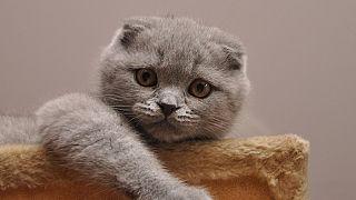 Brüksel genetik mutasyona maruz kalan kedi cinslerini yasaklayacak