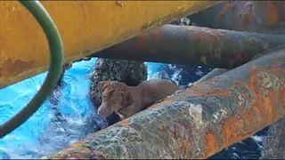 Video | Kıyıdan 220 kilometre açıktaki petrol platformuna yüzen köpek kurtarıldı