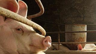 Bilim insanları ölmüş domuz beyinlerini 'canlandırmayı' başardı
