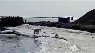Éhes jegesmedvét mentett meg egy orosz falu