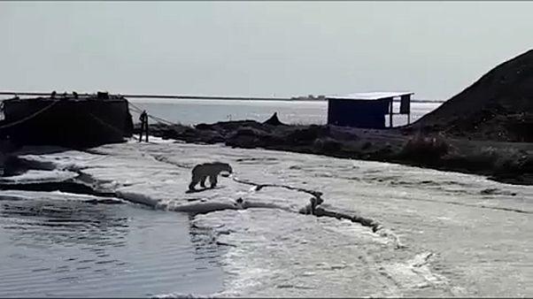 На Камчатку заплыл белый медведь
