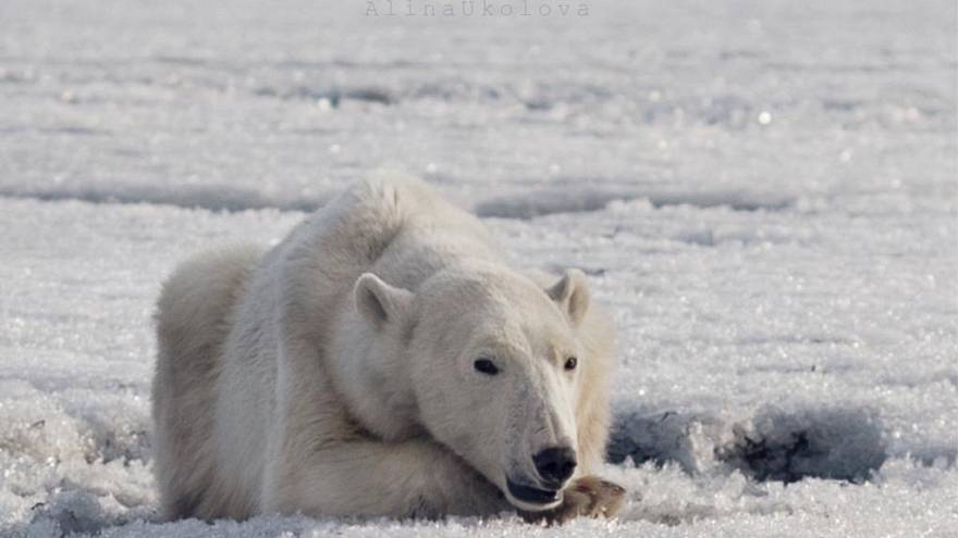 Polar bear found around 700km from home as climate change blamed for habitat loss | #TheCube