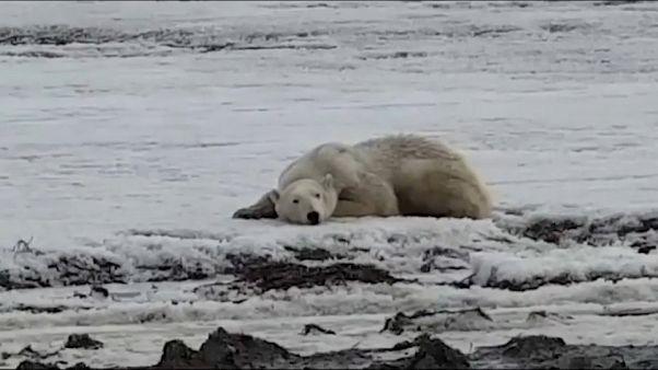 Eisbäralarm in Sibirien