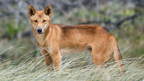 دینگو، سگ وحشی استرالیایی
