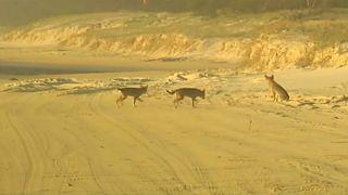 Avustralya'nın vahşi dingo köpekleri