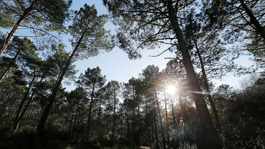 Az elmúlt 100 évben több fát ültettek a svédek, mint amennyi kivágtak