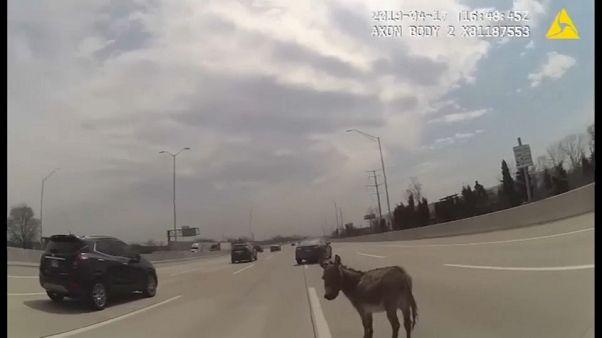 شاهد: كيف تعاملت شرطية أمريكية مع حمار شق طريقا سريعة