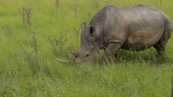 حيوان وحيد القرن في حديقة محمية في جنوب إفريقيا