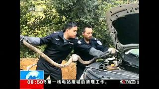 استخراج الأفعى من السيارة