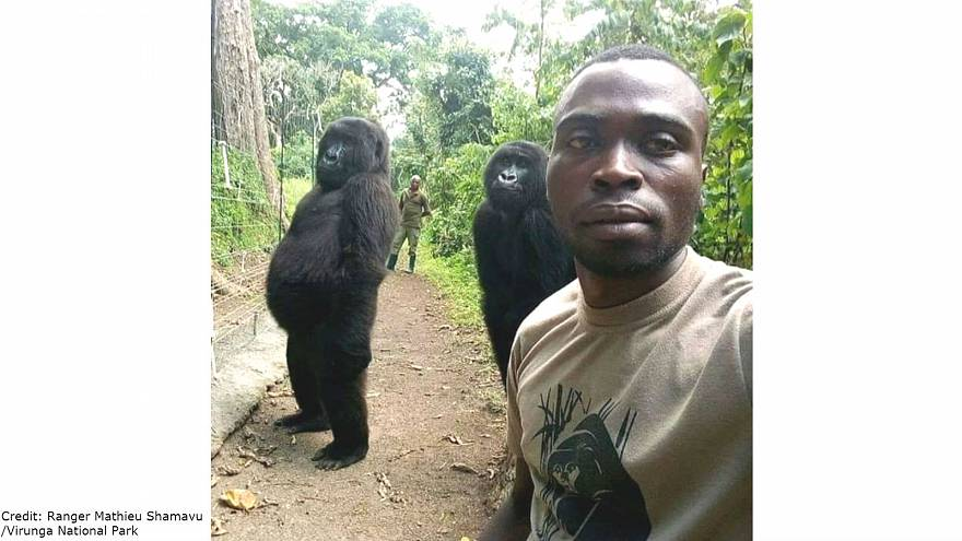 Orphaned gorillas pose for casual selfie with park rangers in DR Congo