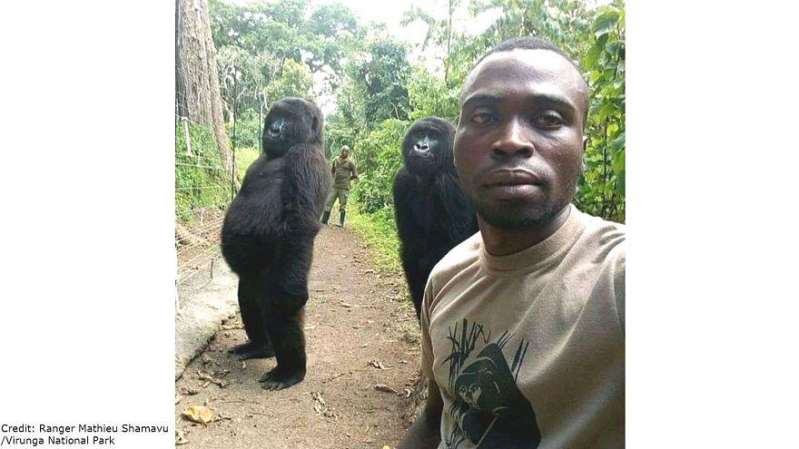 Dos gorilas huérfanas posan para un selfie con los guardabosques del Parque nacional Virunga