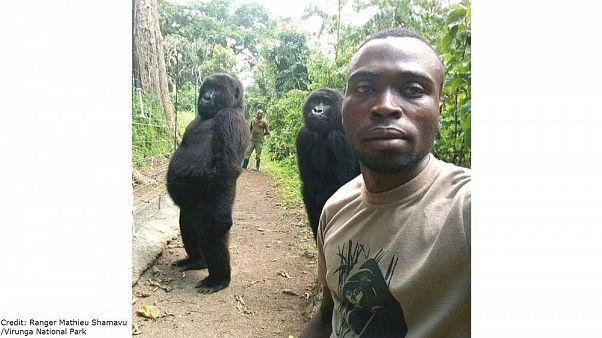 Goriller iki ayak üzerinde durarak bakıcılarıyla selfie çektirdi