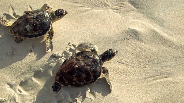 UAE ecotourists help save Hawksbill turtles