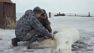 شاهد: السيطرة على دب قطبي  تقطعت به السبل في روسيا