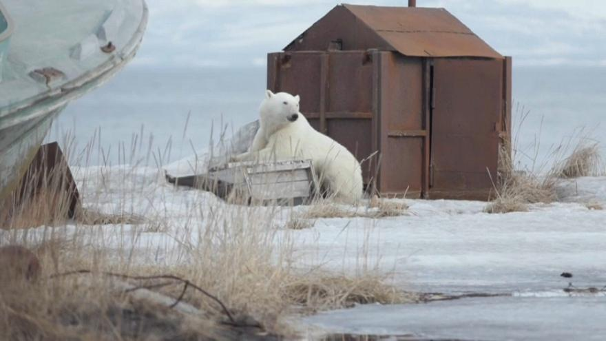 Polar bear arrives back after getting lost 700km from home in Russia