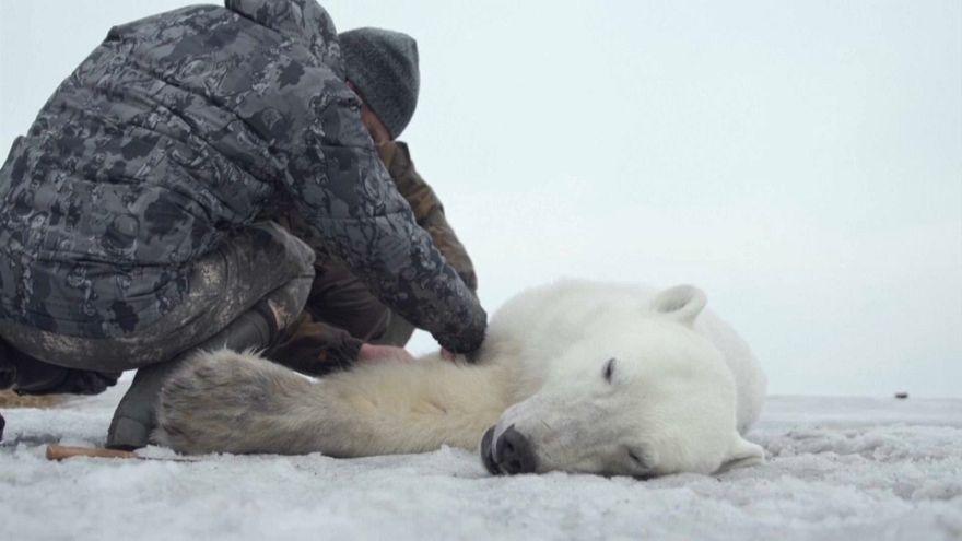 روسیه؛ عملیات بازگرداندن یک خرس قطبی به زیستگاهش