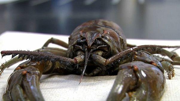 شاهد: العثور على كائن عملاق شبيه بسرطان البحر بمحطة تصفية مياه في أمريكا