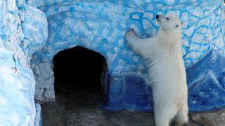 A vakációnak vége, újra otthon az elkóborolt jegesmedve