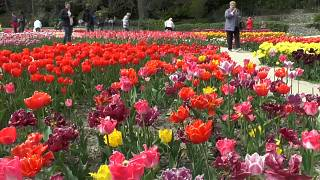 Mehr als 300 neue Tulpenarten auf der Krim