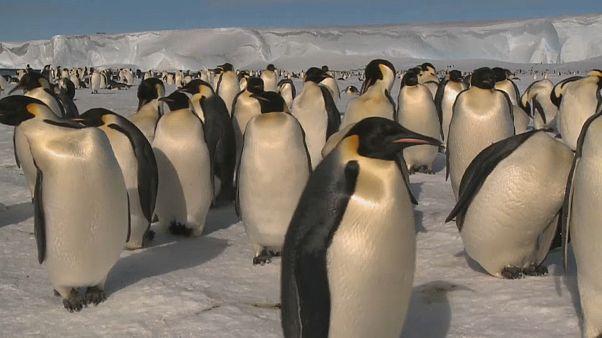 شاهد: اختفاء ثاني أكبر مستعمرة للبطاريق الملكية في القطب الجنوبي