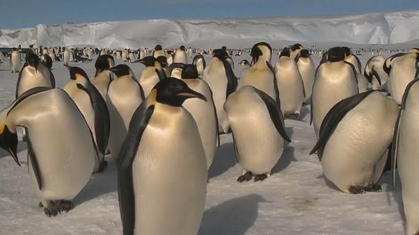 Are the Antarctic's Emperor penguins disappearing?