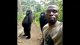 Les deux gorilles debout des Virunga