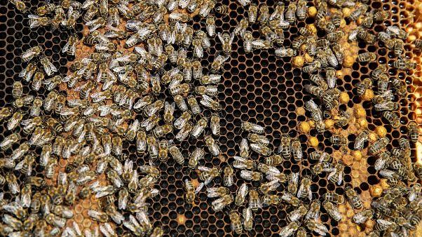 مع الاستخدام المفرط للمبيدات النحل في صربيا بخطر