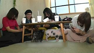 Video: 'Kedi kafelerden' sonra yeni moda 'domuz kafe': Japonlar domuz severek rahatlıyor