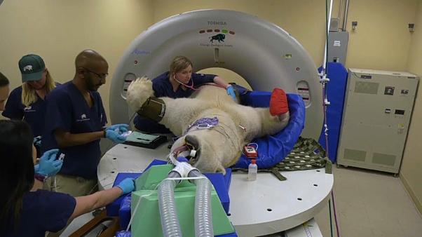 New scan table enables polar bear's medical check-up