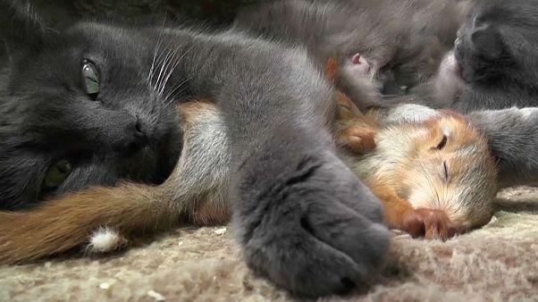 Katze adoptiert 4 kleine Eichhörnchen