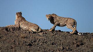 دامپزشک یوزپلنگهای ایرانی: حال محیط زیست بد و حال یوزپلنگها بدتر است